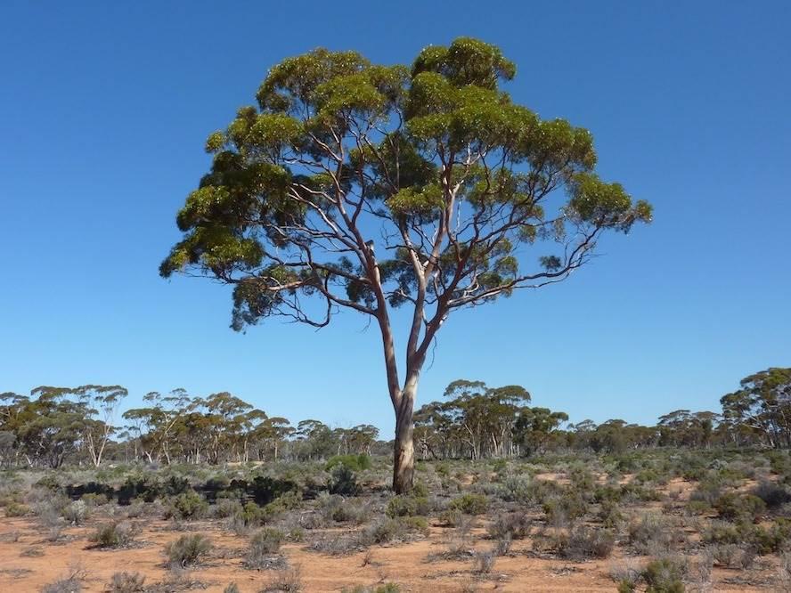 Eukaliptusz fa, olaj